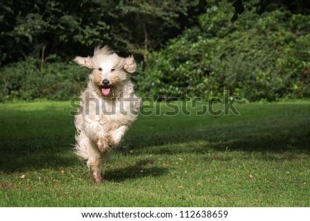 Galloping Labradoodle - stock photo
