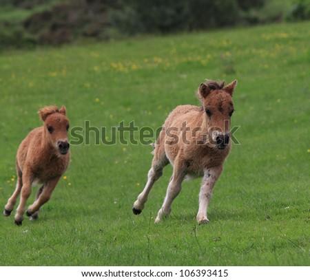 Galloping Shetland Ponies - stock photo