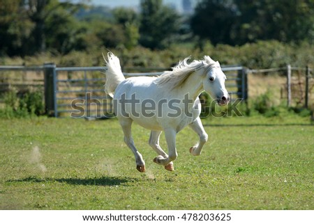 Galloping white horse in a paddock, uk