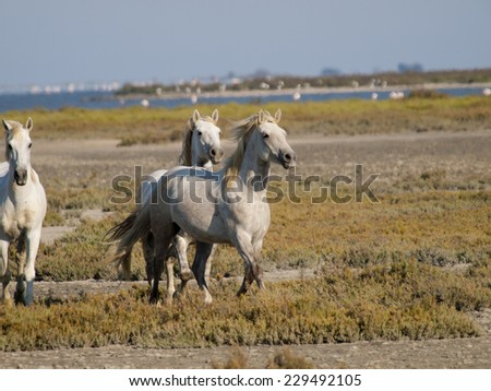 Galloping white horses with flamingos in the back in Parc Regional de Camargue, Provence, France - image has motion blur - stock photo