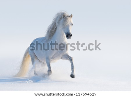 Galloping white Welsh pony on snow field - stock photo