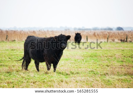 Galloway cattle on grassy field