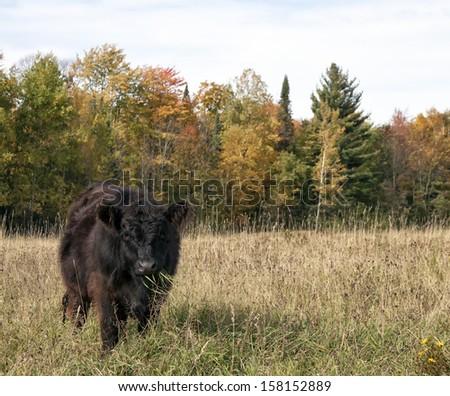 Galloway steer eating lush pasture.  Autumn in Wisconsin - stock photo