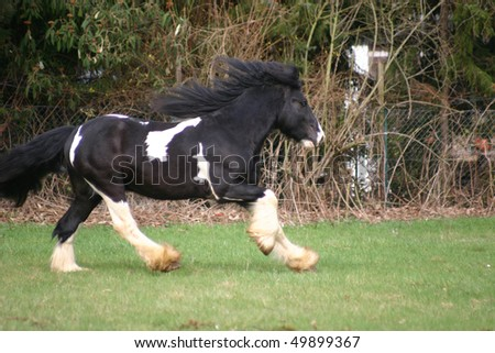 galopping black and white Irish Cob - stock photo