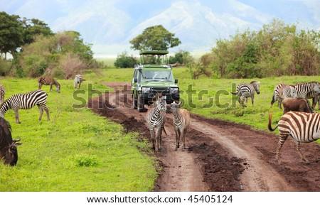 Game drive. Safari car on game drive with animals around, Ngorongoro crater in Tanzania. - stock photo