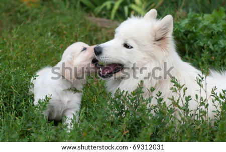 Game of two dogs on the grass. Puppy of golden retriever and adult samoyed.