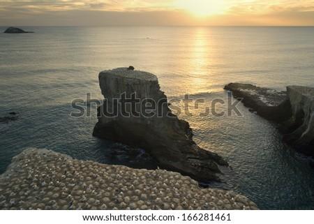 Gannet Colony, Morus serrator, Muriwai Beach, Muriwai Regional Park, Auckland, North Island, New Zealand - stock photo