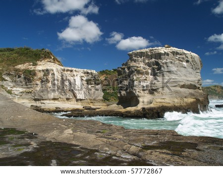 Gannet colony, western shore of Auckland, New Zealand