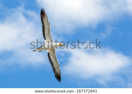 Gannet Flying in Blue Sky and Cloud at Muriwai Beach, Auckland, New Zealand - stock photo