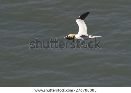 Gannet flying with nesting material in its beak - stock photo
