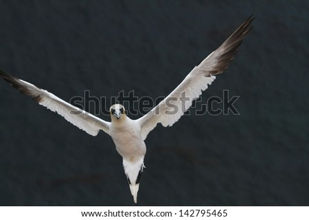 gannet Helgoland island nature reserve wildlife haven German North Sea colonies of seabirds and seals on the Frisian islands  germany hamburg nature reserves gull and gannet - stock photo