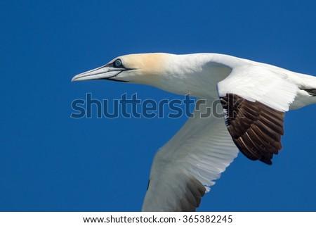Gannet in flight - stock photo