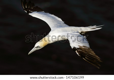 Gannet in flight above the cliffs of Troup head, Scotland.