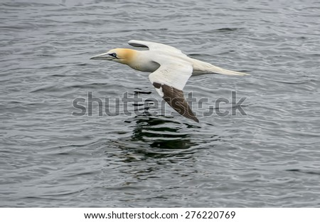 Gannet in Flight over the sea