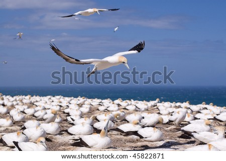 Gannet in flight with colony in background