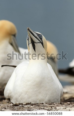 Gannet on its nest