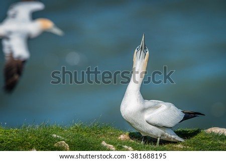 Gannet springtime courtship includes skypointing. Gannet in flight in background. Bempton Cliffs, UK. May - stock photo