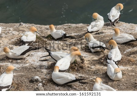 gannets building nests on cliffs - stock photo