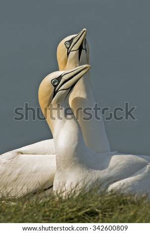 gannets in love .A pair of beautiful  Gannets performing  on top of cliffs in uk - stock photo