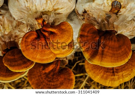 Ganoderma Lucidum,the product of mushroom farm from Thailand,Spot focus.  - stock photo