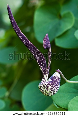 gaping dutchman's pipe flower  (Aristolochia ringens Vahl.)
