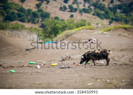 garbage sea coast, disaster. Pig in the trash - stock photo