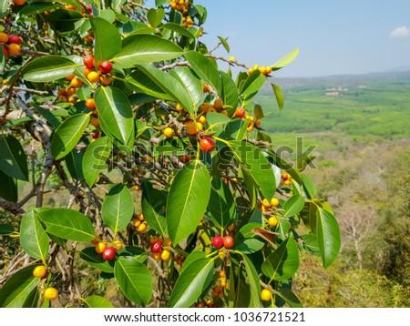 Garcinia gummi-gutta fruit picture 3