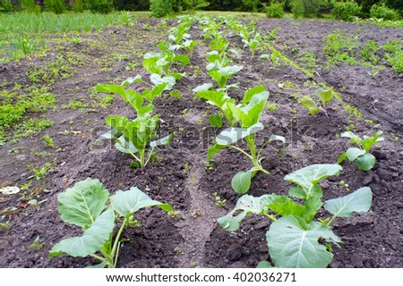 Garden beds with seedlings of cabbage in spring - stock photo