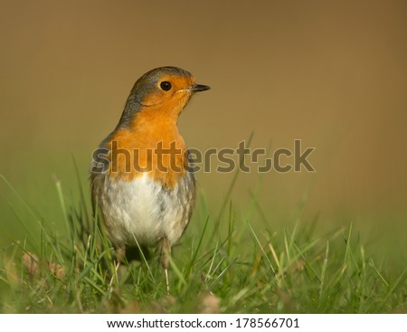 Garden bird European Robin (Erithacus rubecula) in the meadow grass, England