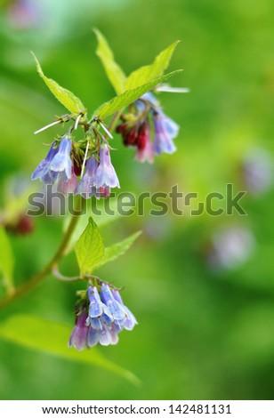Garden bluebells - stock photo