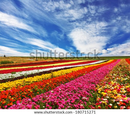 Garden buttercups  of bright contrast colors blossom picturesque strips. Phenomenally beautiful multi-colored flower fields.  - stock photo