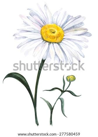 Garden chamomile, isolated on white background. Watercolor illustration - stock photo