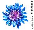 garden chrysanthemum flower illustration on watercolor - stock photo