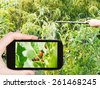 garden concept - man taking photo of spraying of insecticide on colorado potato beetle on mobile gadget in garden - stock photo
