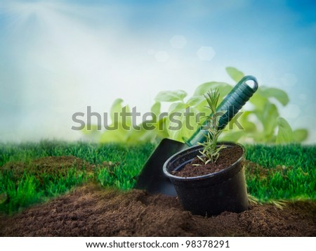Garden concept: rosemary plant in a soil with blue sky background