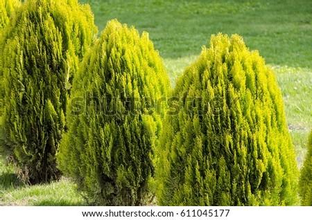 Garden Conifer Bush