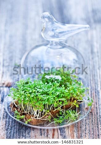 Garden Cress - stock photo