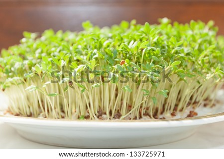 Garden cress (Lepidium sativum) is a fast-growing, edible herb that is botanically related to watercress and mustard, sharing their peppery, tangy flavor and aroma. - stock photo