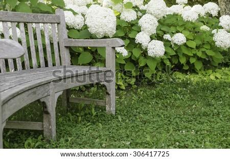 Garden curve: Wooden bench by white hydrangeas, summer in eastern Maine - stock photo
