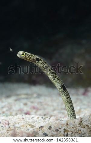 garden eel eating plankton on sea base - stock photo