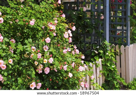 Garden fence with blooming roses and ivy