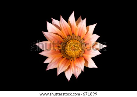 Garden flower isolated on black background with clipping path - stock photo