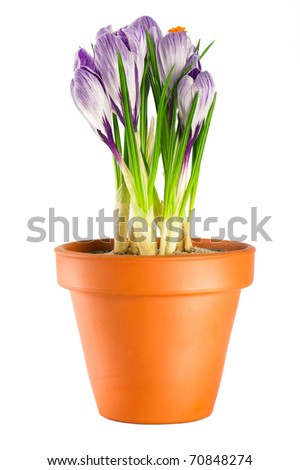 Garden flower pot with spring crocuses isolated on white background - stock photo