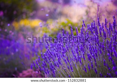 Garden flowers  Lavender colorful background - stock photo