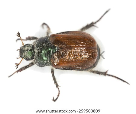 Garden Foliage Beetle, Phyllopertha horticola isolated on white, this beetle is often a pest in gardens - stock photo