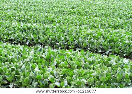 Garden Fresh Vegetables Growing in a home garden - stock photo
