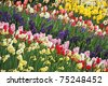 Garden full of tulips,daffodils and hyacinth - stock photo