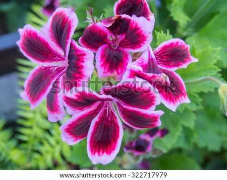 Garden Geranium (Pelargonium x hortorum) is a nothospecies of Pelargonium most commonly used as an ornamental plant - stock photo