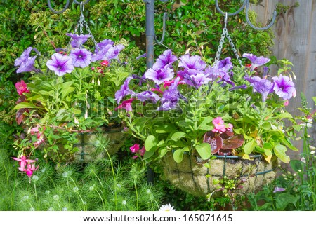 Garden hanging baskets with purple surfina petunias suspended by chains.
