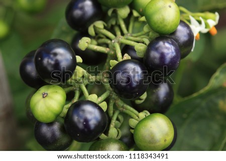 Garden Huckleberry Solanum Melanocerasum Stock Photo (Royalty Free ...